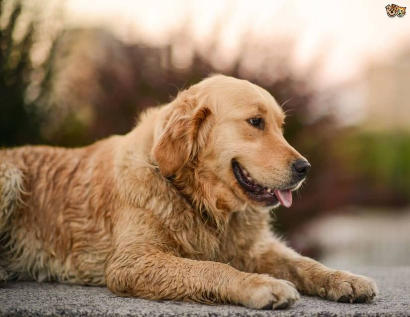 Brilliant Golden Retriever Dog With Beautiful Background