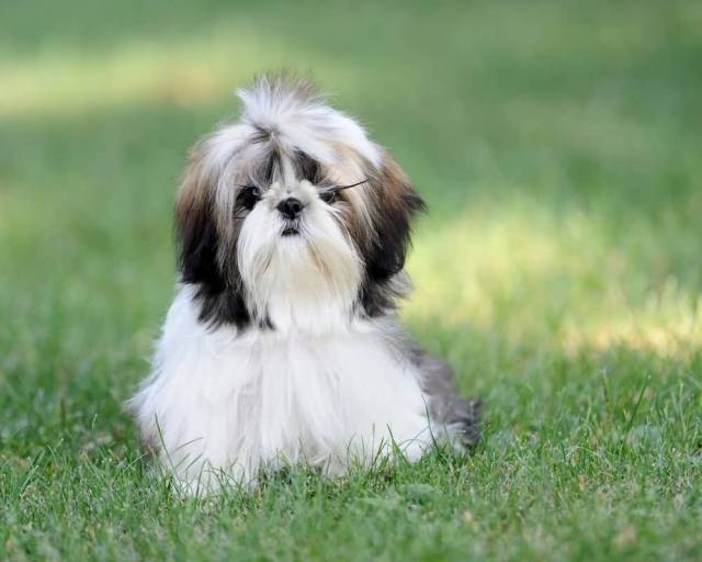 Brilliant Shih Tzu Mini Dog Sitting On Grass