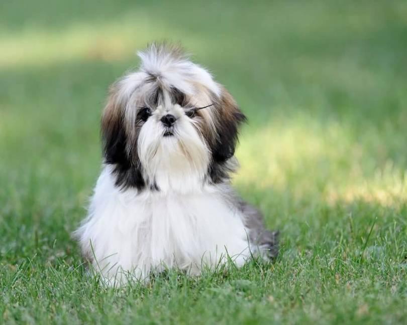 Brilliant Shih Tzu Mini Dog Sitting On Grass