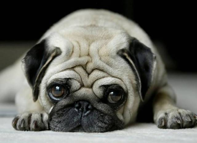 Brilliant White Pug Dog looking At You