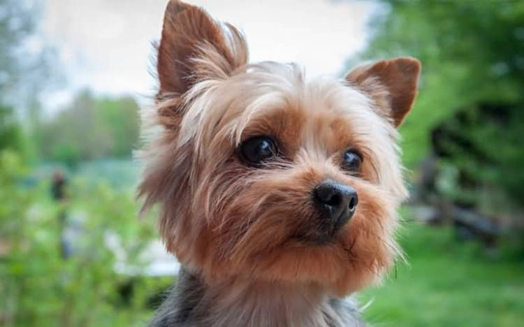 Charming Yorkshire Terrier Dog With Beautiful Background