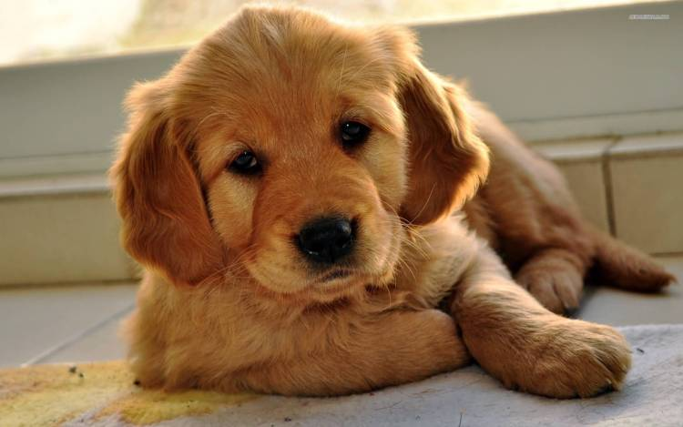 Cool Golden Retriever Baby Dog Laying On Floor