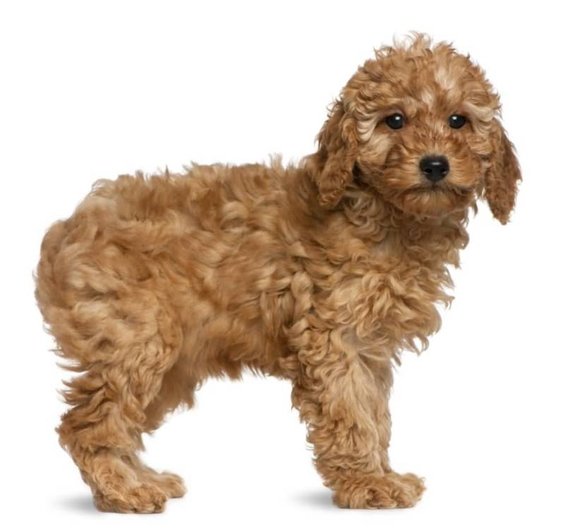 Cool Golden Toy Poodle Dog Pup With White Background