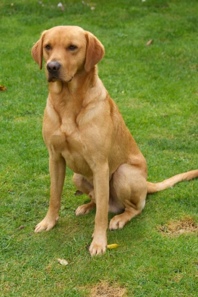 Cool Labrador Retriever Dog With Beautiful Background