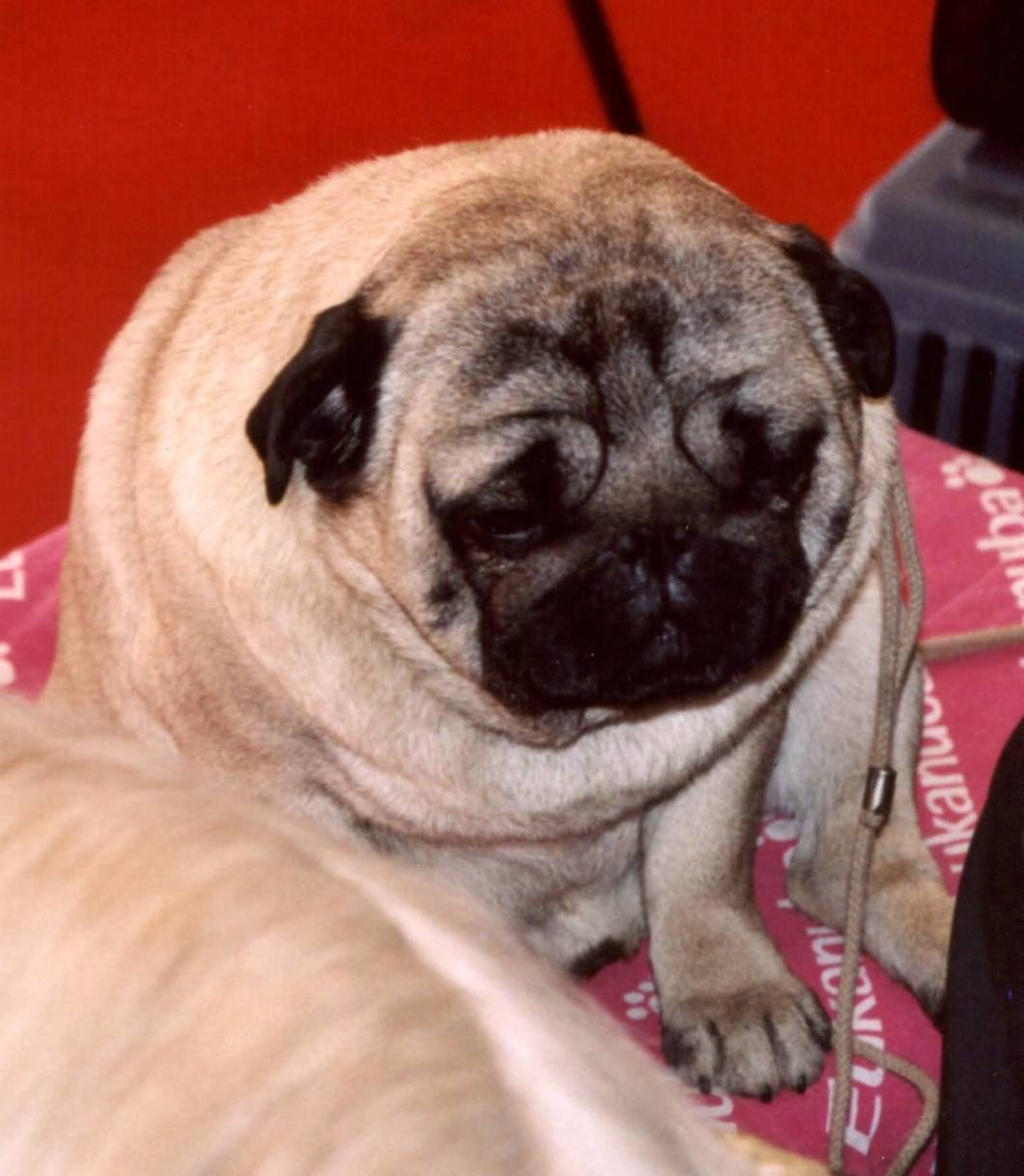 Cool Pug Dog Male Stand On Chair