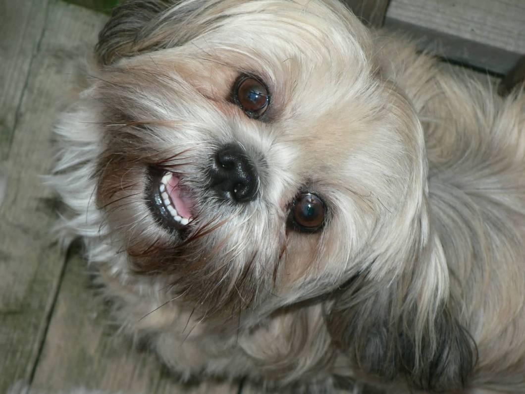 Cool Shih Tzu Dog Looking At You
