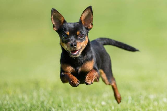 Coolest Chihuahua Dog Jumping In Park With Green Background
