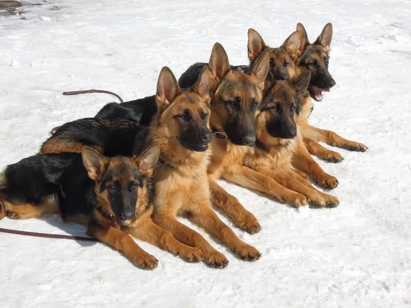 Coolest German Shepherd Dog Family With Nice White Floor