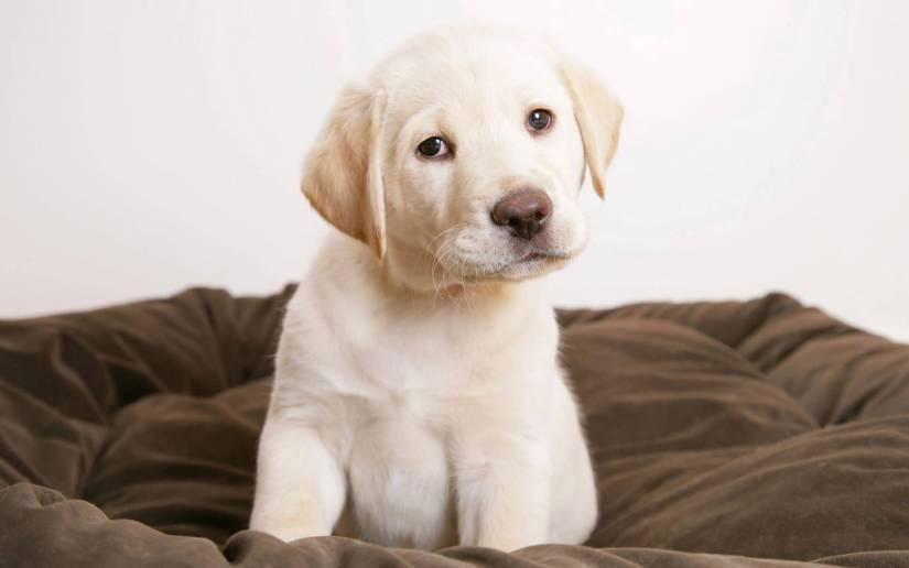 Coolest White Labrador Retriever Dog With white Background