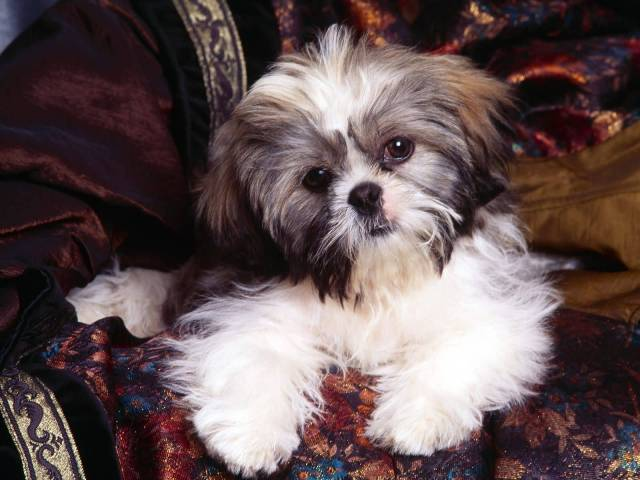 Cute White Shih Tzu Dog Wallpaper For Desktop