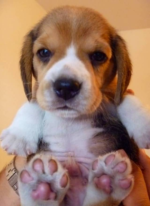 Cutest Miniature Beagle Dog Baby In Boys Hands