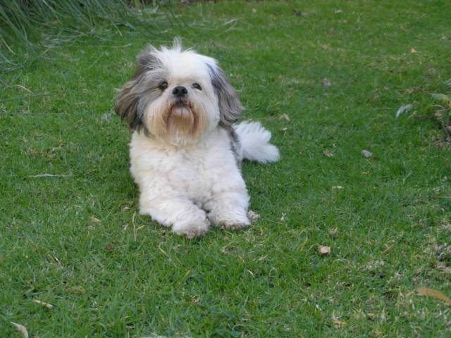 Cutest White Shih Tzu Dog Sitting On Grass