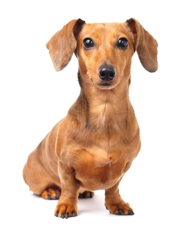 Fabulous Brown Dachshund Dog For Wallpaper