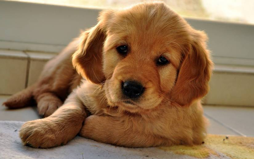 Fabulous Brown Golden Retriever Baby Dog Picture For Wallpaper