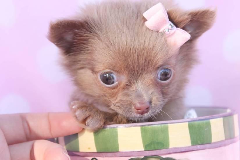 Fabulous Chihuahua Dog With Girls Fingers