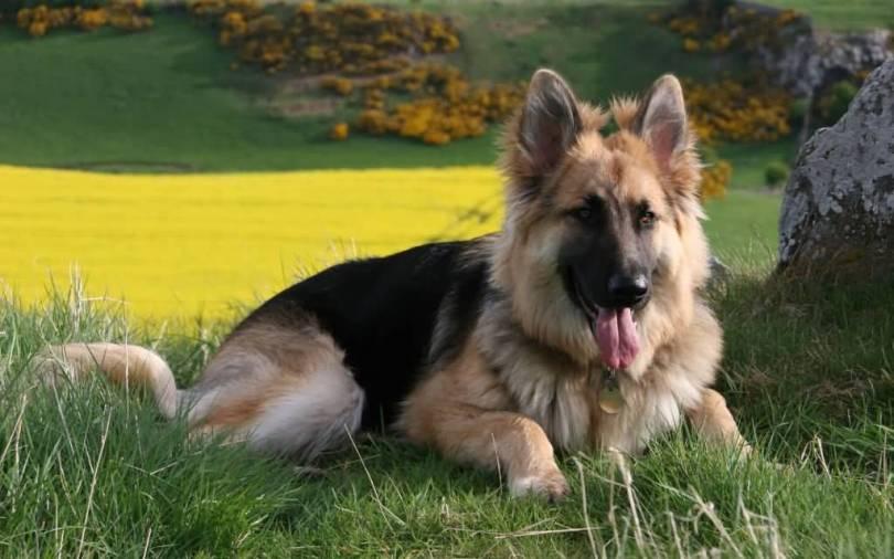 Fabulous German Shepherd Dog Sitting In Garden