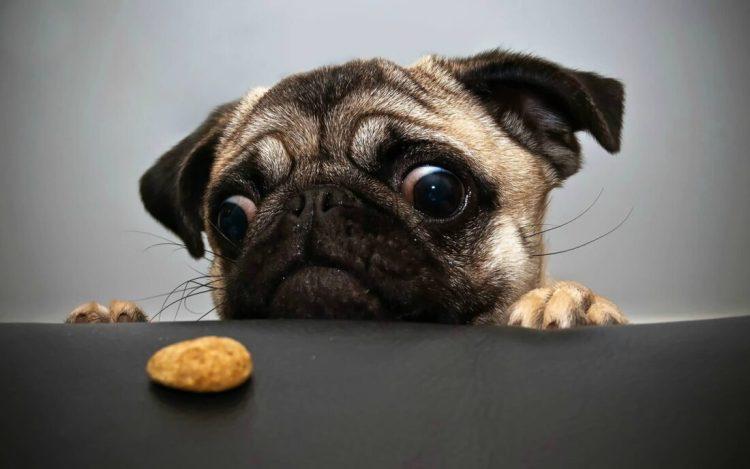 Fabulous Hungry Pug Dog Image For Wallpaper