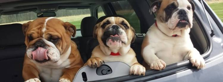 Fabulous Three Bulldog Friends In Back Of Car With Black Eyes