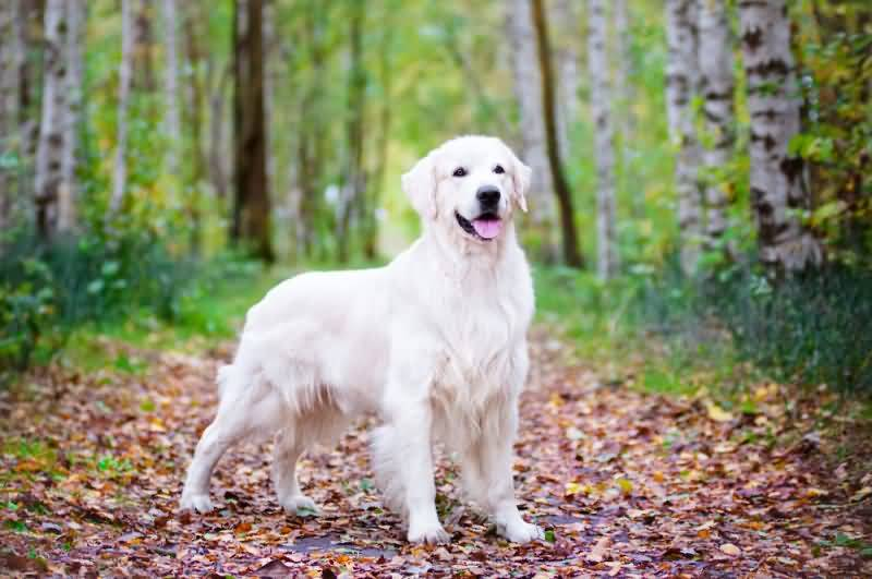 Fabulous White Golden Retriever Dog With Beautiful Background