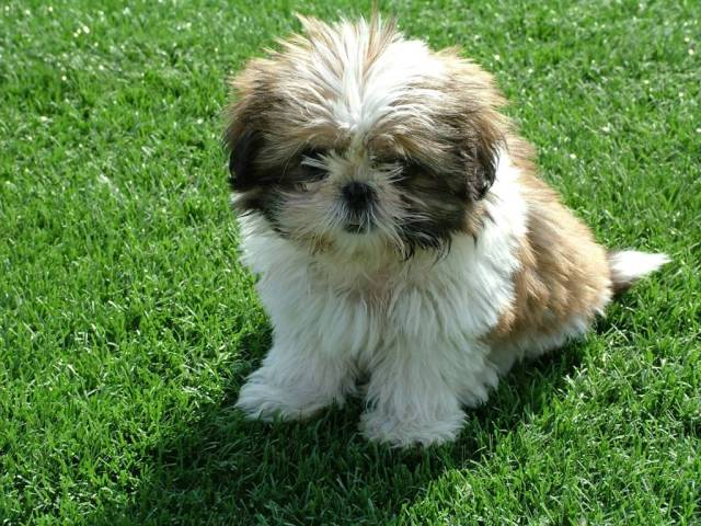 Fabulous White Shih Tzu Dog For Wallpaper