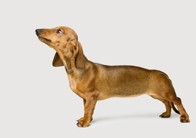 Fantastic Dachshund Dog With White Background