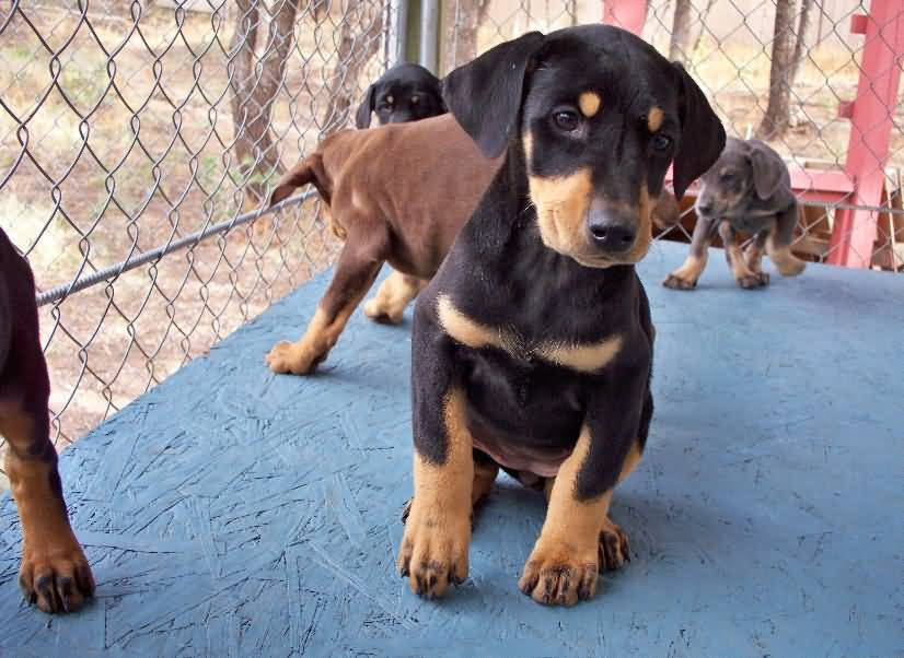 Fantastic Doberman Pinscher Puppy Dogs In Own Home