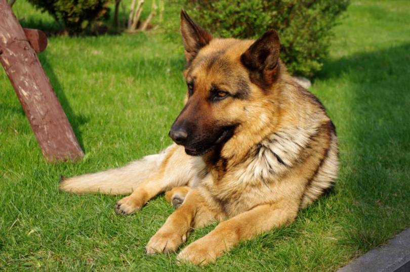 Fantastic German Shepherd Dog Sitting In Garden