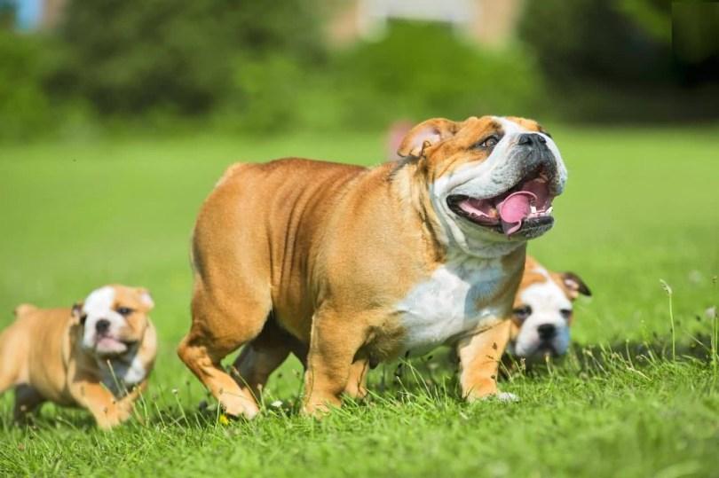 Full Family Images Brown Bulldogs In Park
