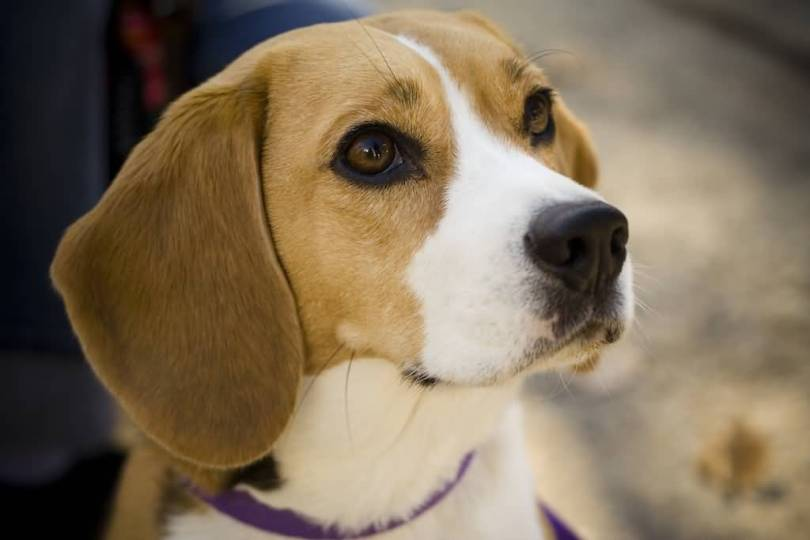 High Definition Picture Of Cute Beagle Dog
