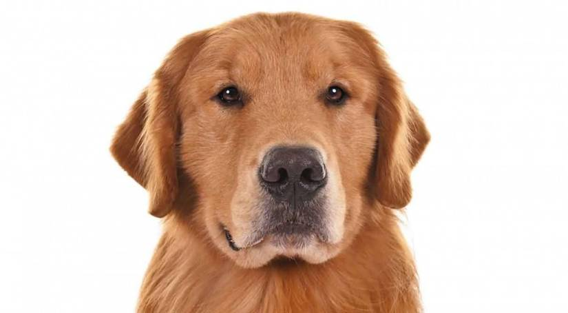 Incredible Golden Retriever Dog Looking At You