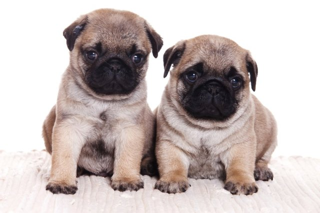 Incredible Two Pug Dog Image With White Background