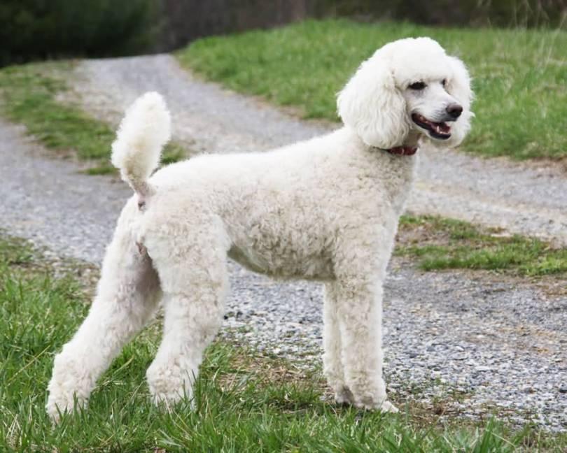 Lovely Adult Poodle Dog In Garden
