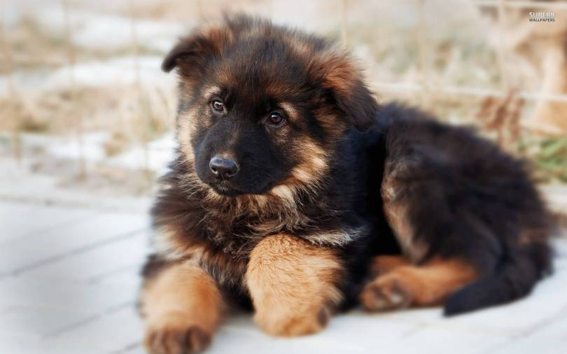 Lovely German Shepherd Baby Pup Picture For Home