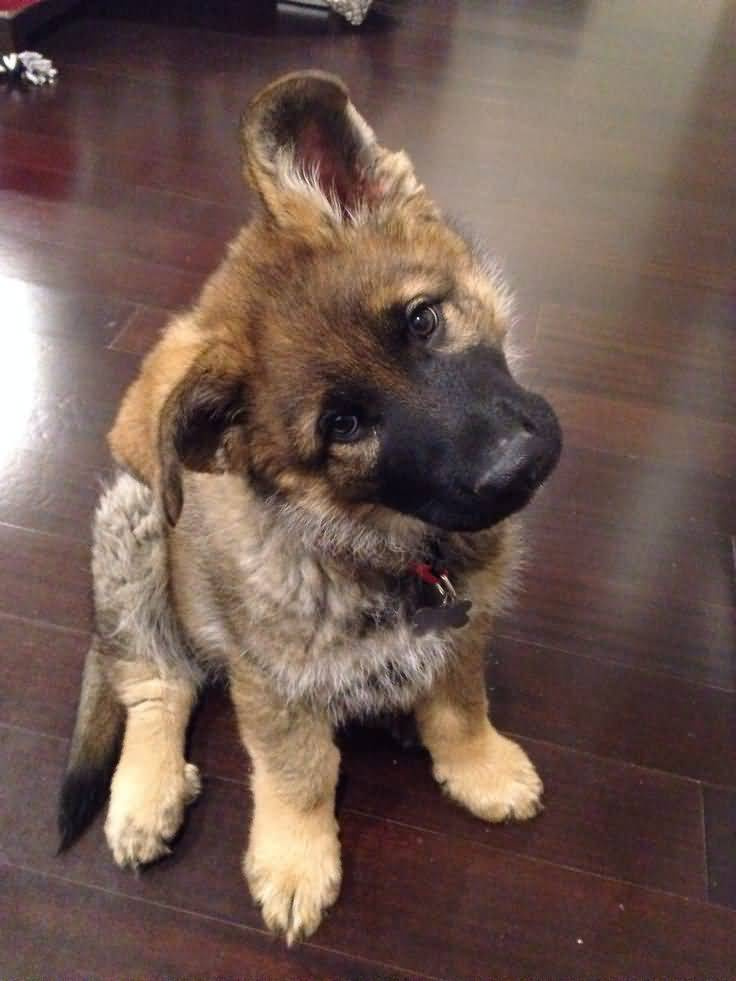 Lovely German Shepherd Dog Pup Sitting On Floor