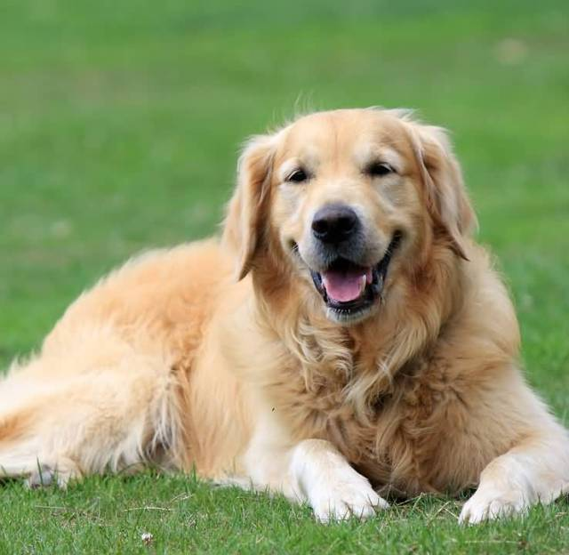 Lovely Golden Retriever Adult Dog With Beautiful Background