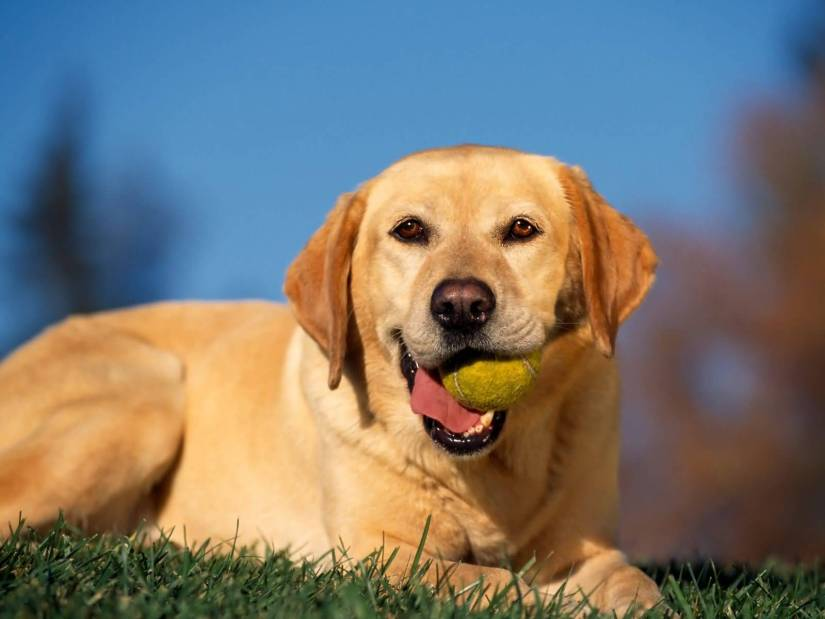 Lovely Labrador Retriever Adult Dog With Beautiful Background