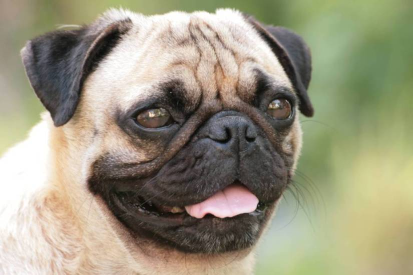 Lovely Smiling Pug Dog Face With Beautiful Background