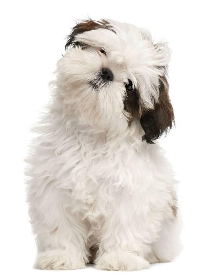 Lovely White Shih Tzu Dog With Beautiful Hair