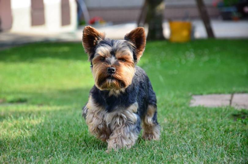 Lovely Yorkshire Terrier Dog Pup Running In Park
