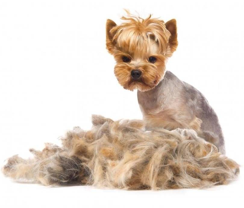 Lovely Yorkshire Terrier Dog With White Background