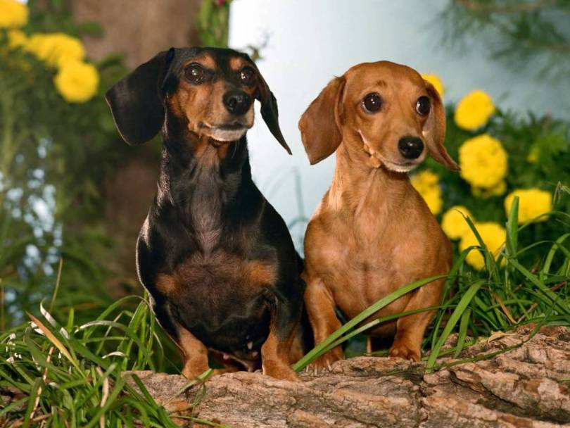 Mind Blowing Brown And Black Dachshund Dog Playing His Friend