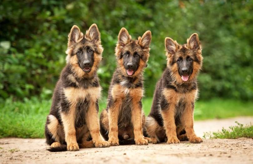 Mind Blowing German Shepherd Dog Friends With Beautiful Background