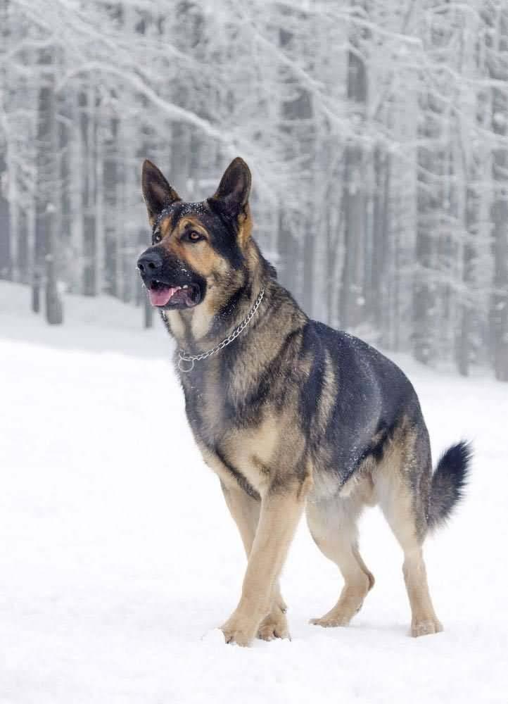 Mind Blowing German Shepherd Dog In Jungle `