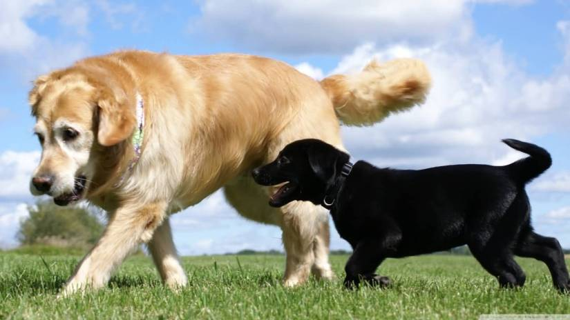 Mind Blowing Labrador And Golden Retriever Dog Playing