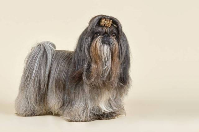 Mind Blowing Shih Tzu Dog With White Background