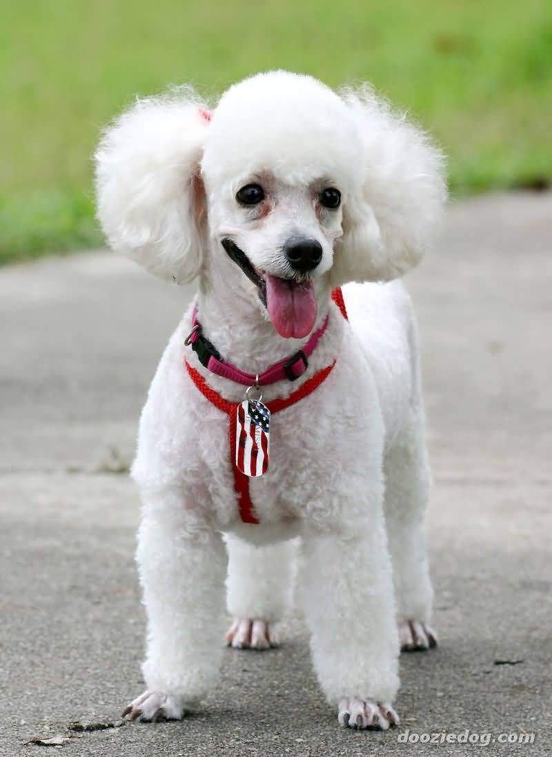 Most Beautiful White Poodle Dog Stand On Road