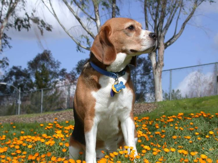 Most Beautiful Beagle Dog Full Grown In Garden