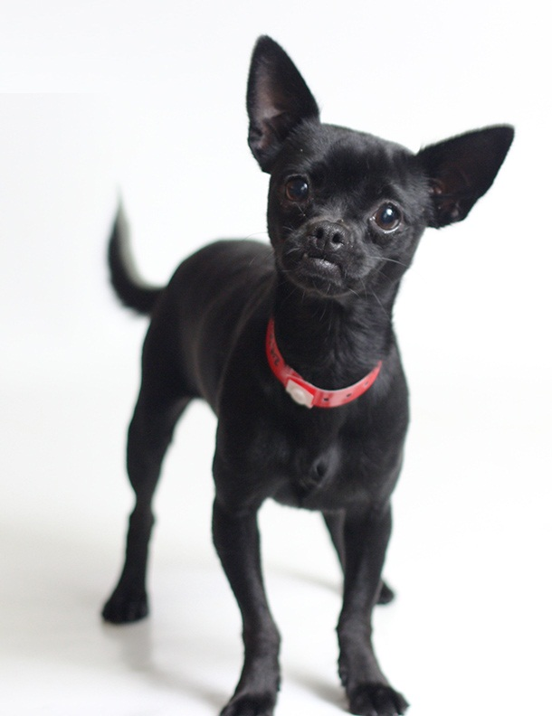 Most Beautiful Black Chihuahua Dog Looks At You
