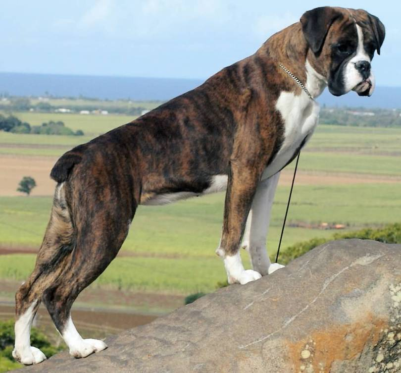Most Beautiful Boxer Dog Stand On Hill