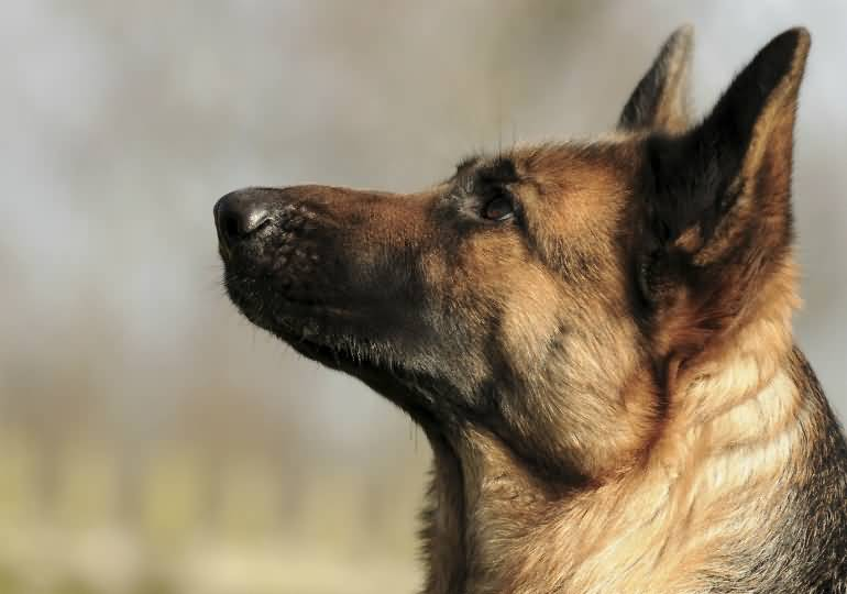 Most Beautiful German Shepherd Dog With White Background